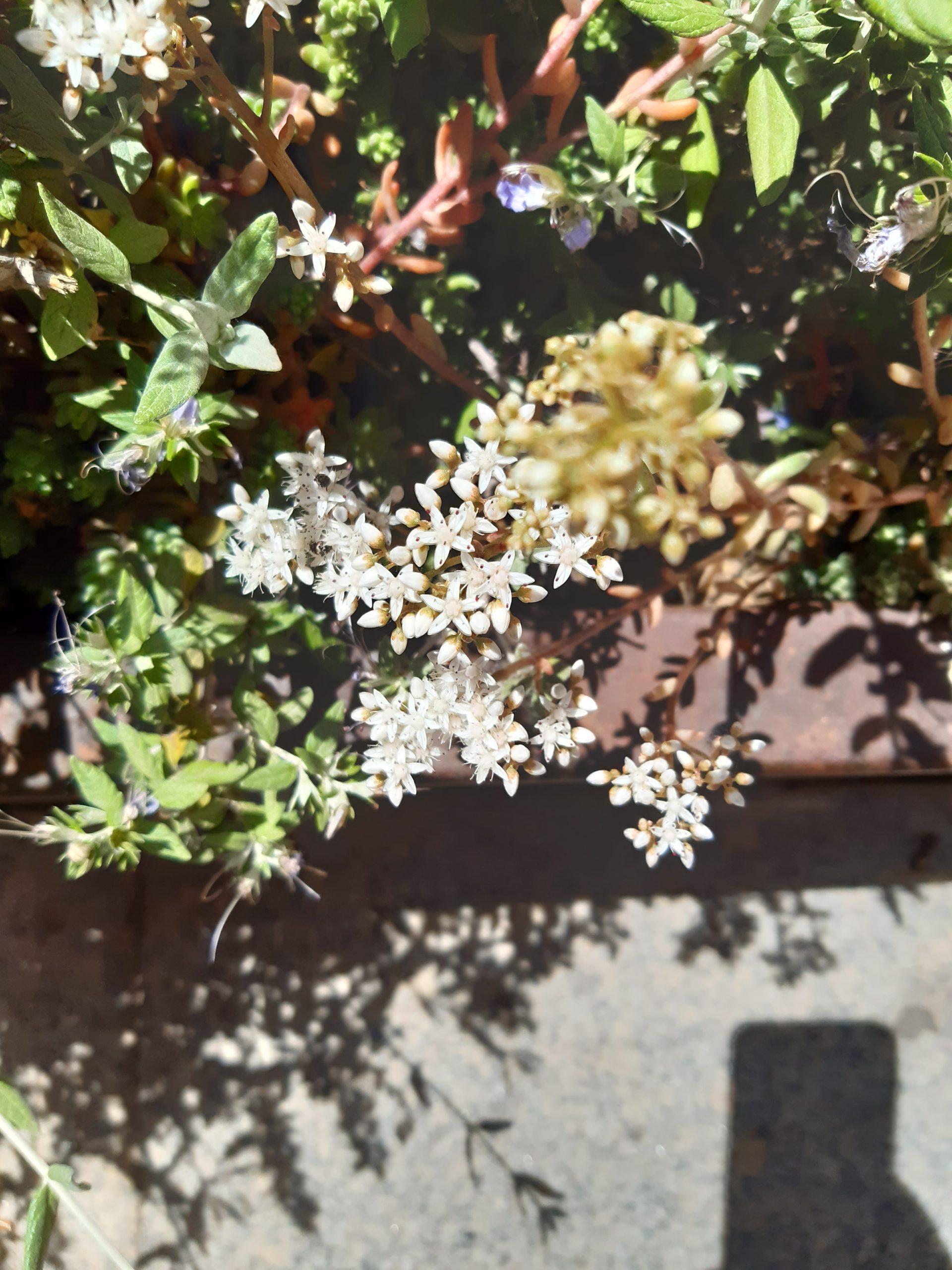 Flores estrella